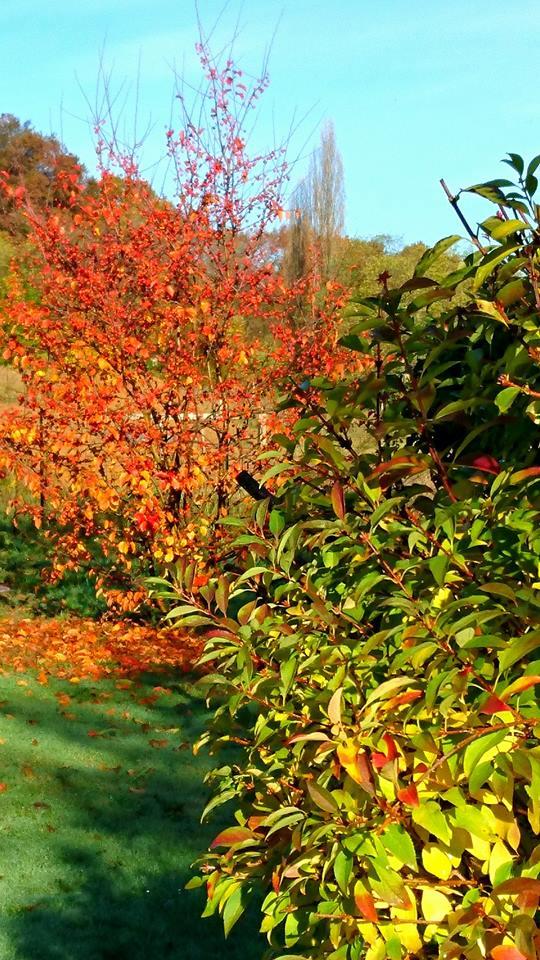 Malus 'Everest' et Forsythia fin novembre au jardin.