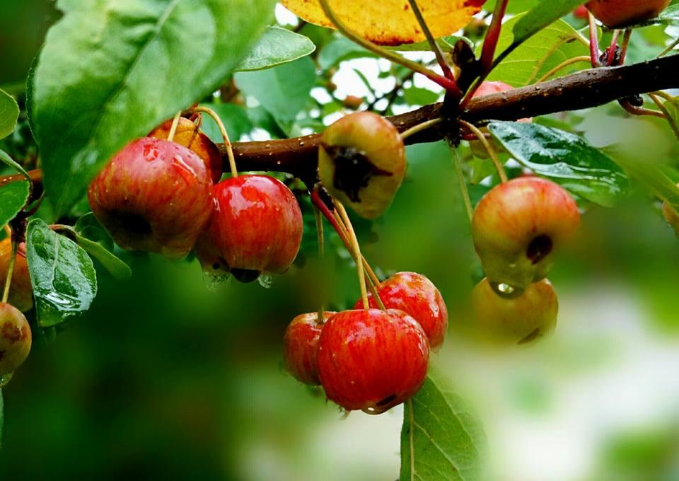 Malus Everest fruits mi-septembre