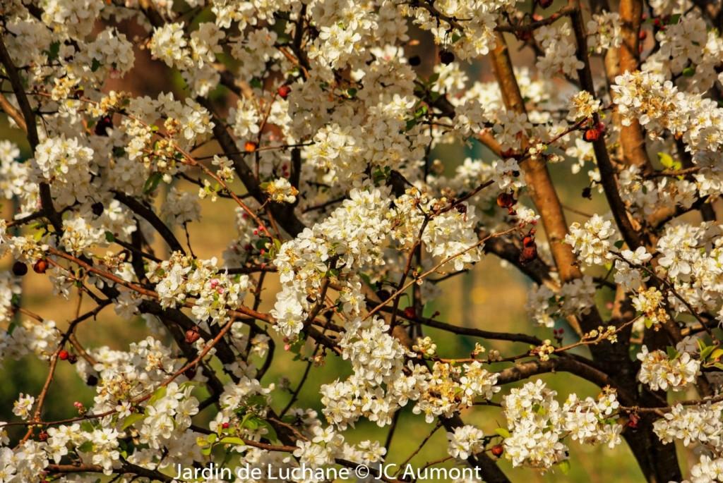 Malus Evereste en fleurs