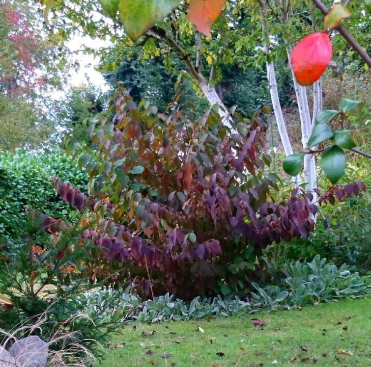 Viburnum plicatum mariesii great star jardin de luchane for Jardin des vins 2016 sion