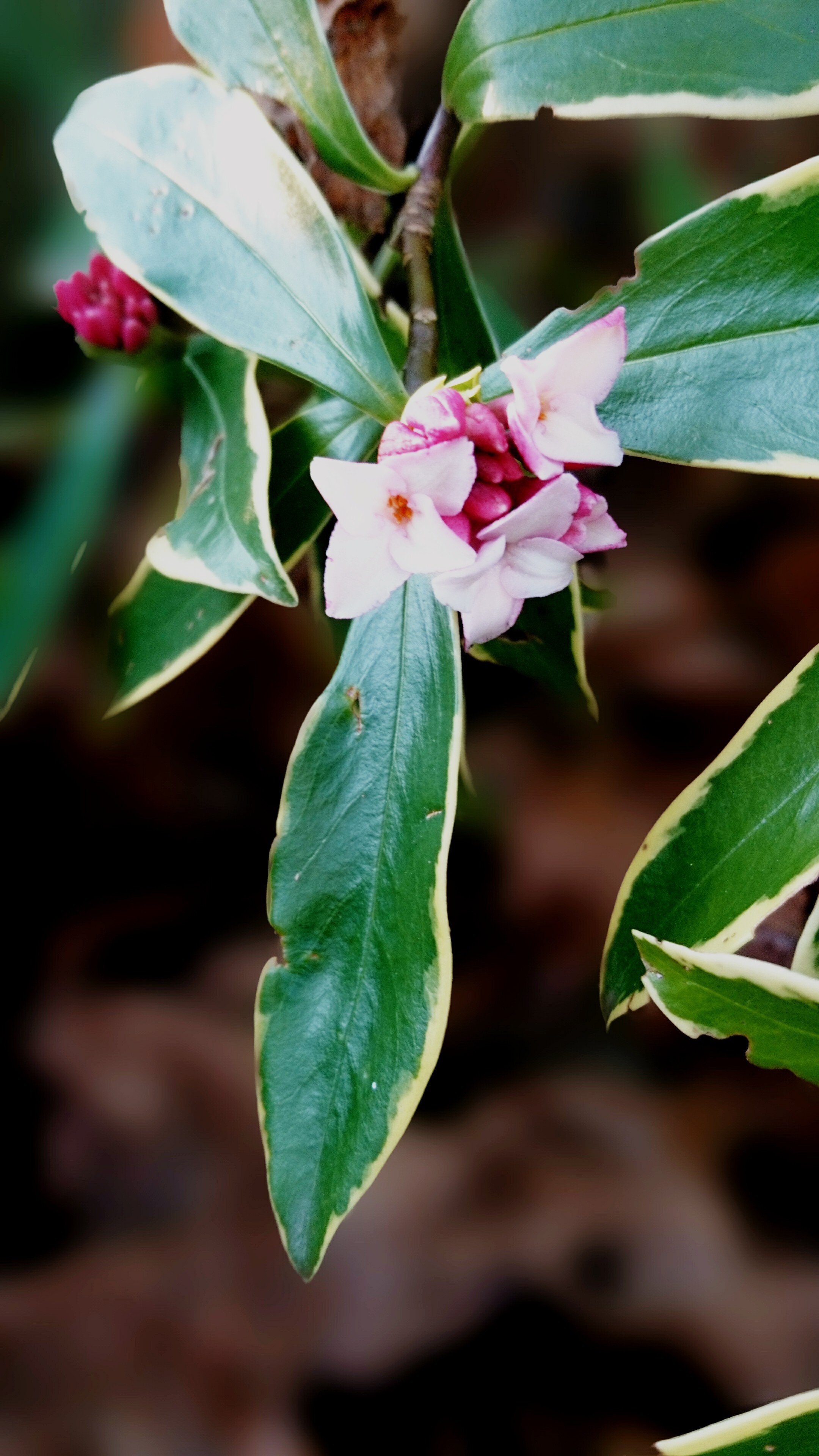 Petits bijoux hivernaux jardin de luchane for Arbuste daphne odora aureomarginata