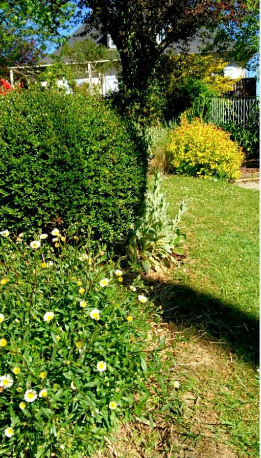 Erigeron karvinskianus jardin de luchane for Entretien jardin tarbes