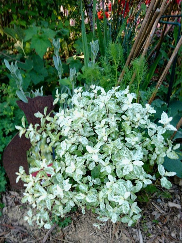 Le feuillage de Pittosporum tenuifolium 'Irène Patterson' est particulièrement lumineux !