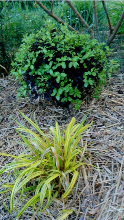 Jeune sujet de Pittosporum tenuifolium au débourrement en avril et Hakonechloa macra aureola.
