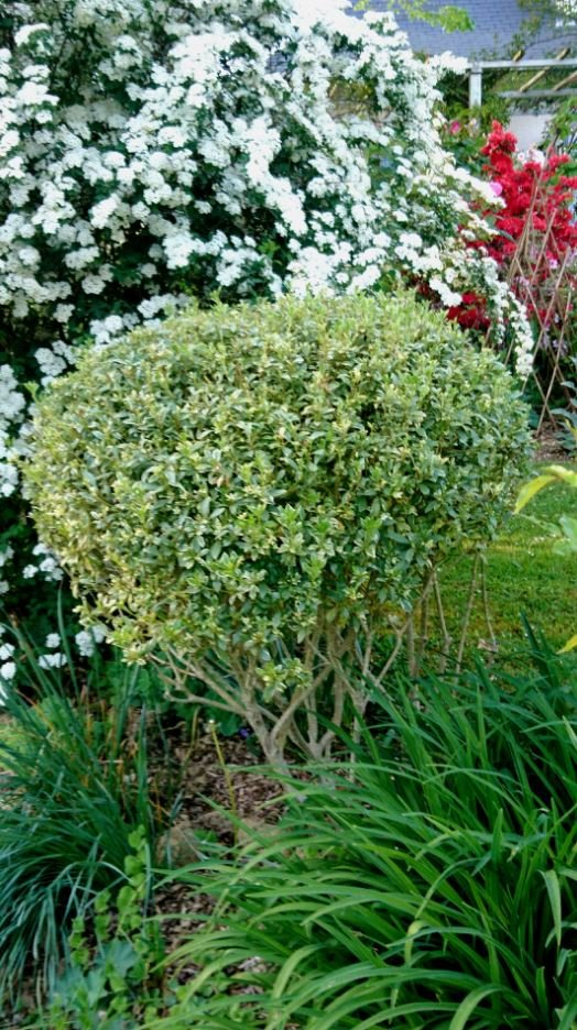 Le pittosporum tenuifolium variegatum adopte une silhouette originale.