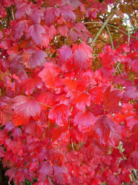L'automne sera l'occasion de profiter d'une seconde saison d'intérêt grâce au feuillage coloré.