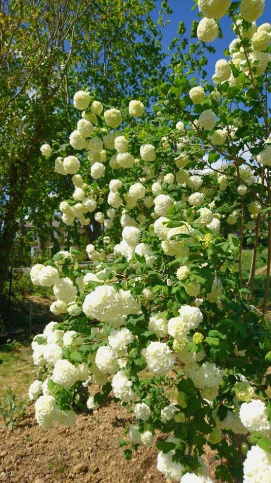 C'est une profusion de fleurs qui ornent l'arbuste au printemps !