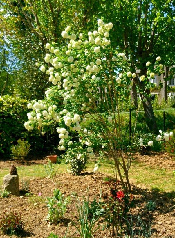 ...l'arbuste a depuis été intégré à un nouveau massif et taillé pour en alléger la base.