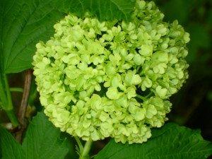 Les fleurs sont tout d'abord vert pâle.