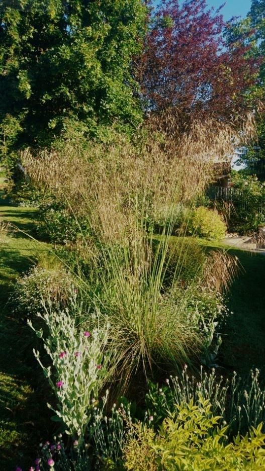 Stipa gigantea jardin de luchane for Graminee geante