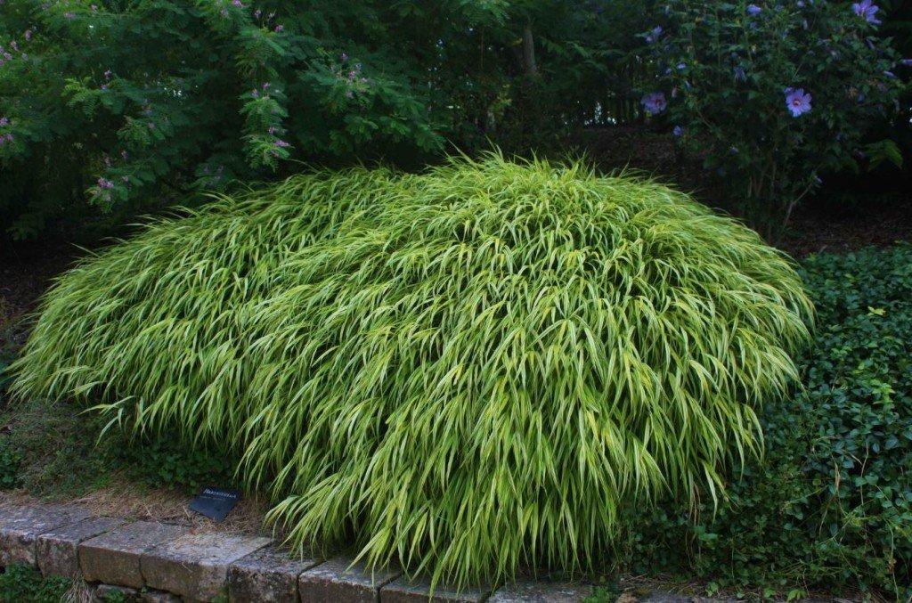 Dans les Jardins panoramiques de Limeuil des Hakonechloas plantés en groupe créent un fabuleux coussin lumineux.