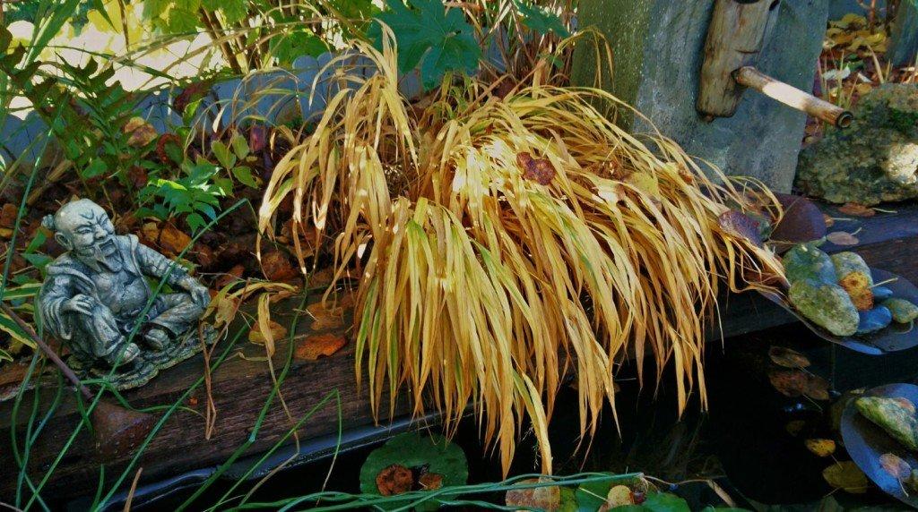 Fin novembre cette graminée est toujours décorative quand son feuillage se teinte d'orangé.