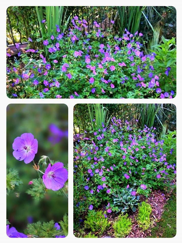 'Rozanne' au jardin été.