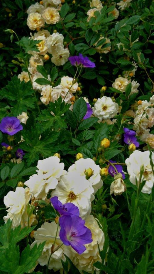 Les geraniums fonctionnent toujours bien avec les rosiers, ici Ghislaine de Féligonde.