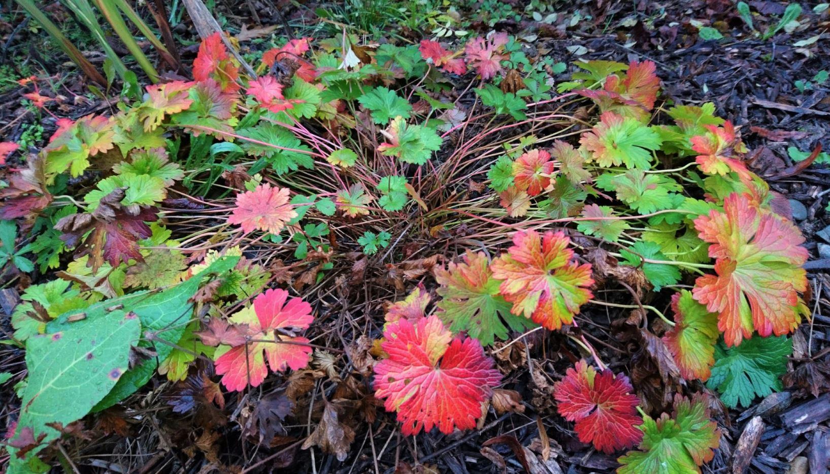 A l'automne, il prend de belles teintes rouille avant de disparaître jusqu'au printemps suivant.