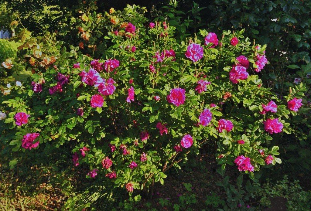 Rosier Hansa au jardin fin mai.