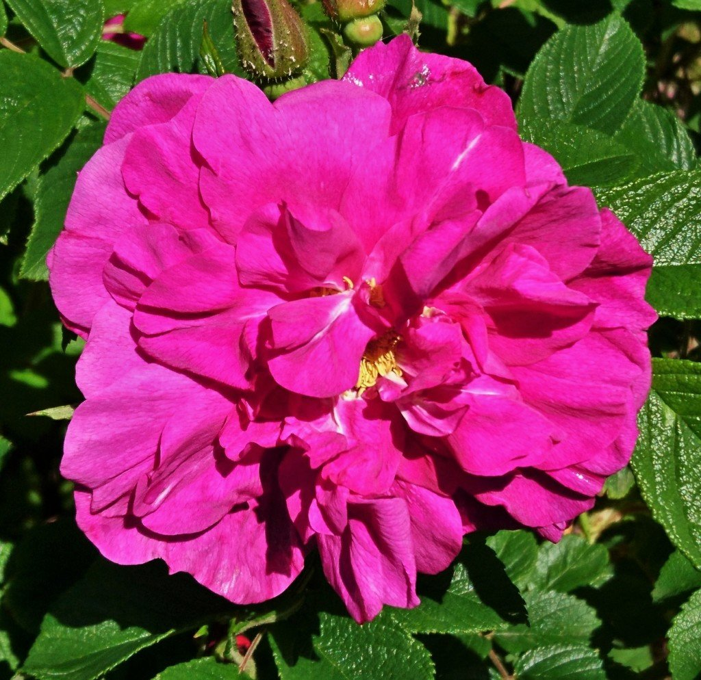 Le fleur, double, est d'un beau pourpre et très parfumée.
