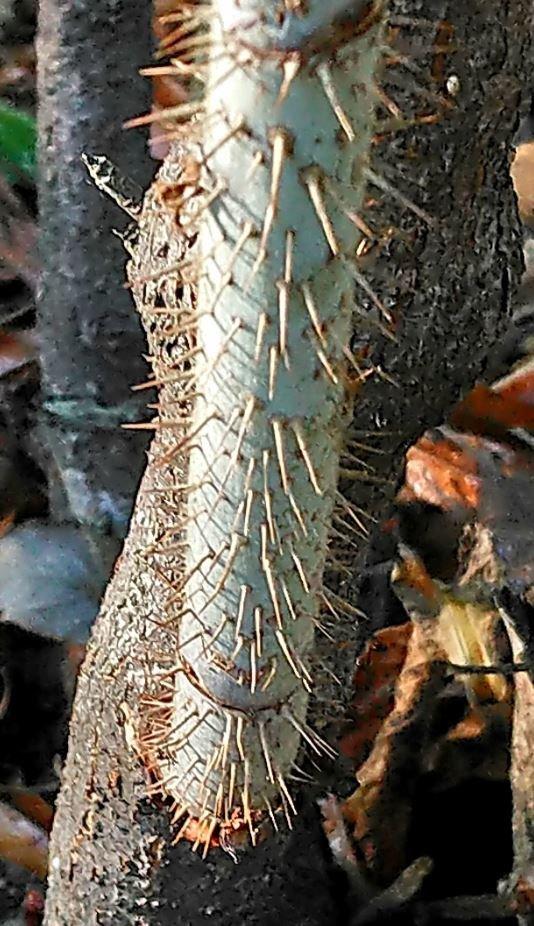 Les très nombreux aiguillons sont surtout présents sur les jeunes tiges.