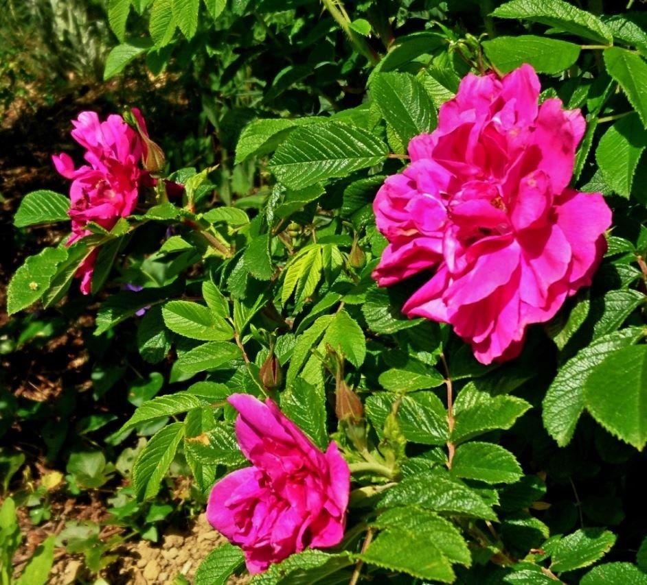 Hansa est très florifère et très remontant.