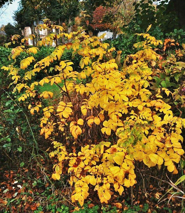 Qualité supplémentaire, le feuillage se pare d'or  à l'automne.
